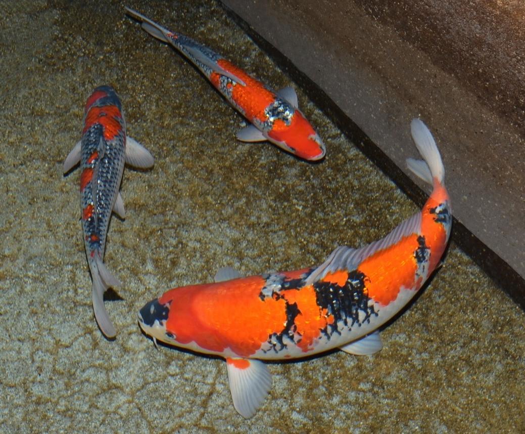 鯉の見沼 - 親鯉 - 錦鯉!成田養魚園株式会社 錦鯉のライブと飼育資材の販売 &nbs